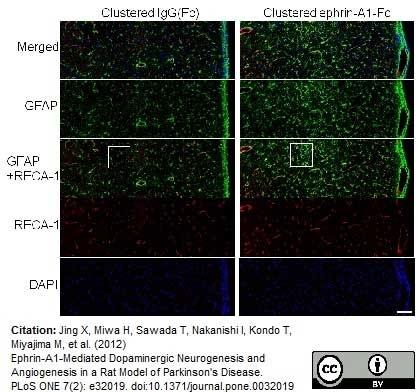 Anti Rat RECA-1 Antibody, clone HIS52 thumbnail image 9
