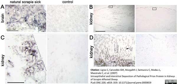 Anti Sheep CD230 (aa151 - aa159) Antibody, clone 2G11 thumbnail image 1