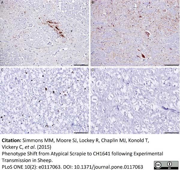 Anti Sheep CD230 (aa151 - aa159) Antibody, clone 2G11 thumbnail image 2