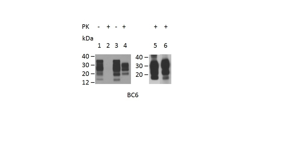 Anti Sheep CD230 (aa144-154) Antibody, clone ROS-BC6 thumbnail image 1