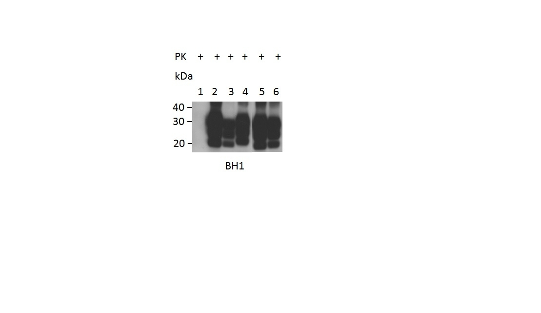 Anti Sheep CD230 (aa143-154) Antibody, clone ROS-BH1 thumbnail image 2