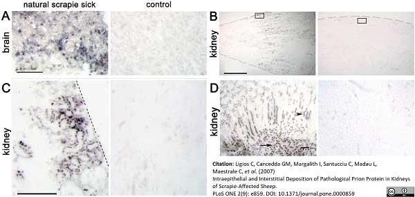 Anti Sheep CD230 (Prpsc) Antibody, clone 2G11 thumbnail image 1