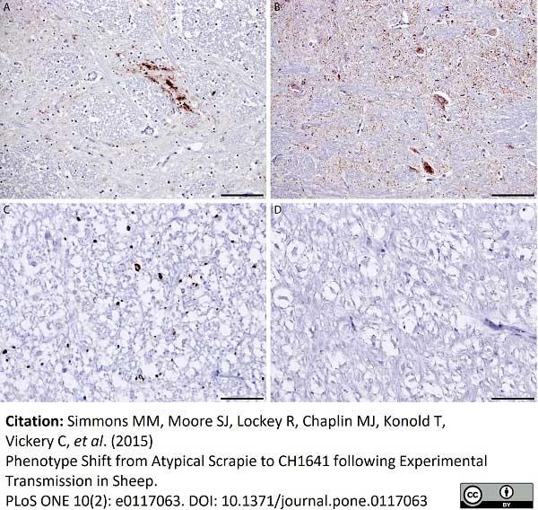 Anti Sheep CD230 (Prpsc) Antibody, clone 2G11 thumbnail image 2