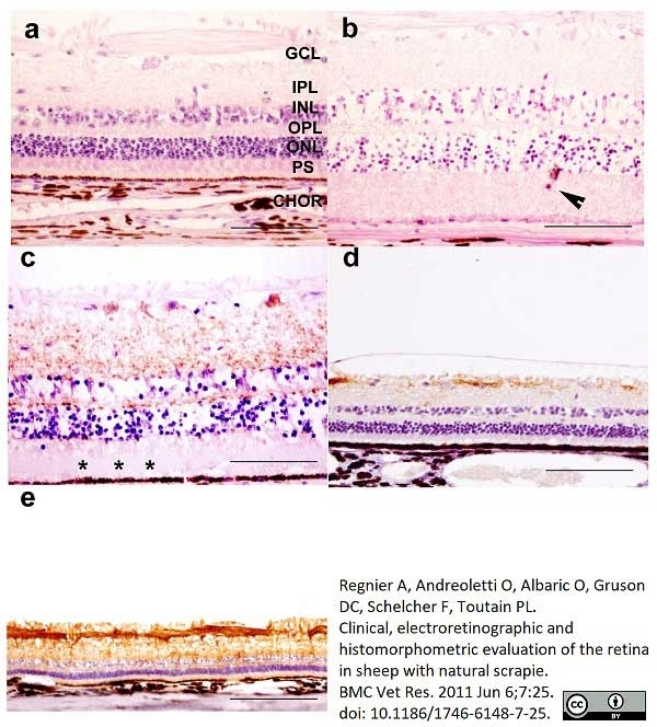 Anti Sheep CD230 (Prpsc) Antibody, clone 2G11 thumbnail image 4