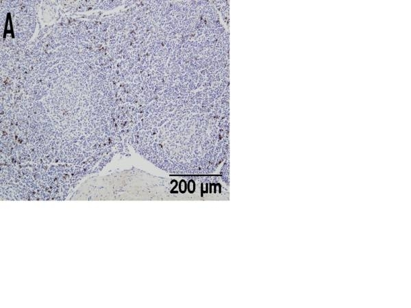 Anti Sheep CD335 Antibody, clone EC1.1 thumbnail image 1