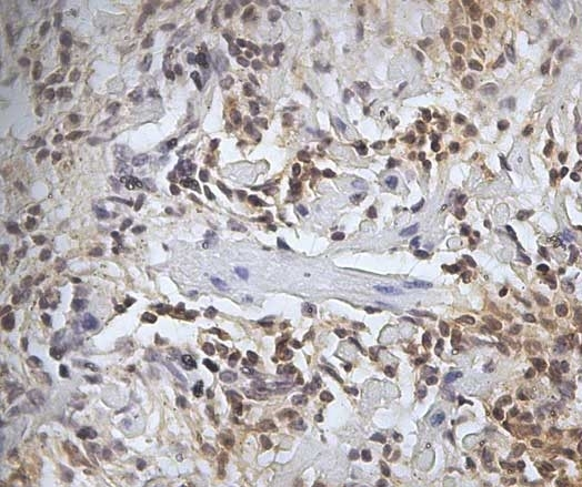 Anti Sheep CD45 Antibody, clone 1.11.32 gallery image 6
