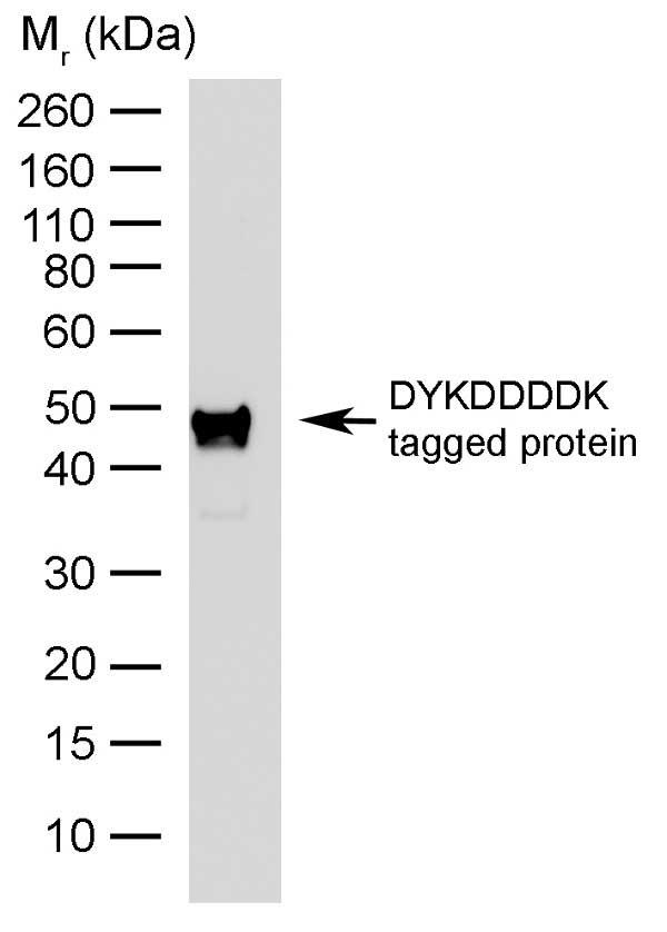 Anti DYKDDDDK Tag Antibody, clone 6F7 gallery image 1