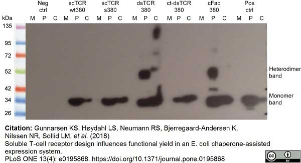Anti Histidine Tag Antibody, clone AD1.1.10 thumbnail image 10
