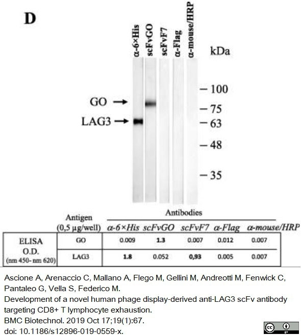 Anti Histidine Tag Antibody, clone AD1.1.10 thumbnail image 11