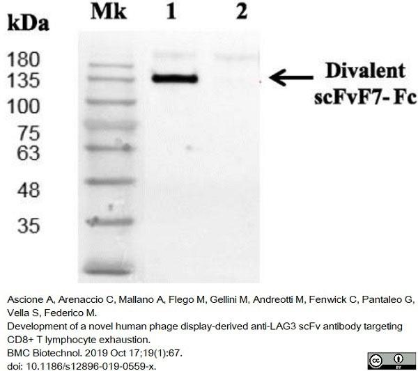 Anti Histidine Tag Antibody, clone AD1.1.10 thumbnail image 12