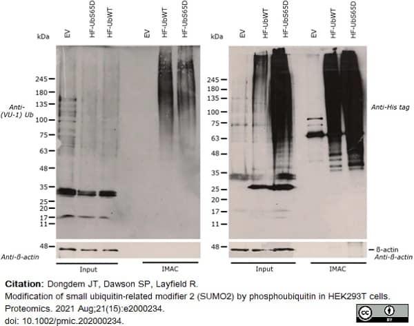 Anti Histidine Tag Antibody, clone AD1.1.10 thumbnail image 14