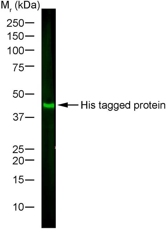 Anti Histidine Tag Antibody, clone AD1.1.10 thumbnail image 5