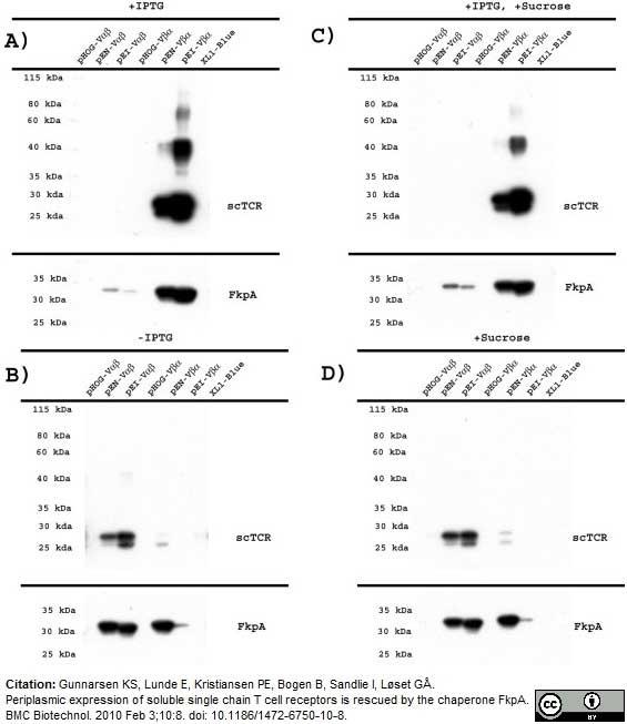 Anti Histidine Tag Antibody, clone AD1.1.10 thumbnail image 6