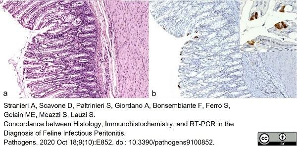 Anti Feline Coronavirus Antibody, clone FIPV3-70 thumbnail image 3