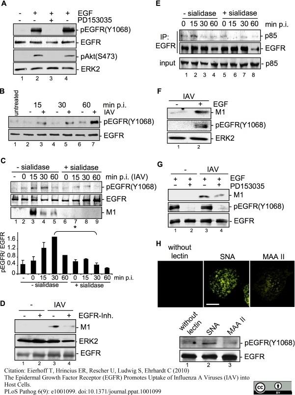 Anti Influenza A Matrix Protein Antibody, clone GA2B thumbnail image 6