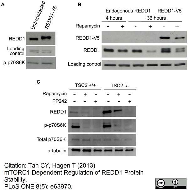 Anti V5-Tag Antibody, clone SV5-Pk1 thumbnail image 12