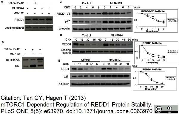 Anti V5-Tag Antibody, clone SV5-Pk1 thumbnail image 13