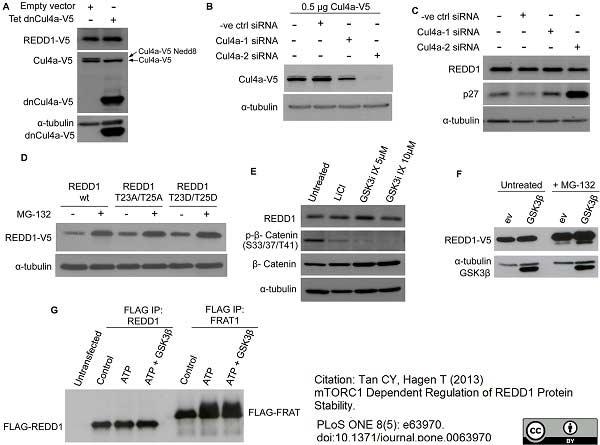Anti V5-Tag Antibody, clone SV5-Pk1 thumbnail image 14