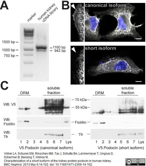 Anti V5-Tag Antibody, clone SV5-Pk1 thumbnail image 15