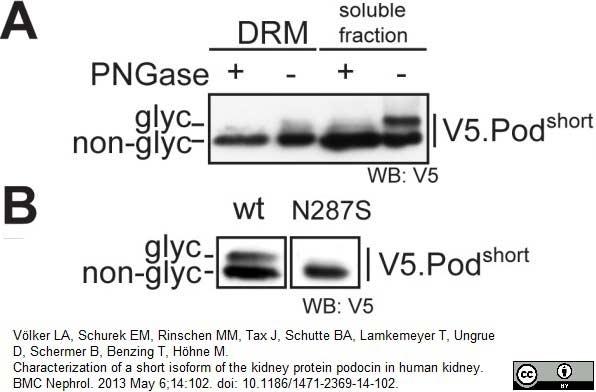 Anti V5-Tag Antibody, clone SV5-Pk1 thumbnail image 17