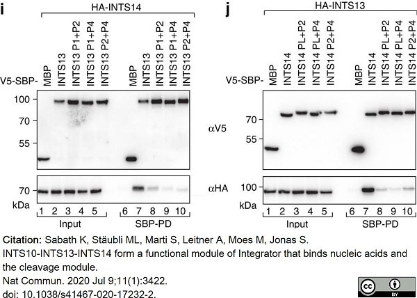 Anti V5-Tag Antibody, clone SV5-Pk1 thumbnail image 24