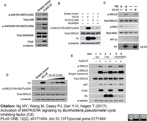 Anti V5-Tag Antibody, clone SV5-Pk1 thumbnail image 3