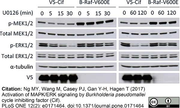Anti V5-Tag Antibody, clone SV5-Pk1 thumbnail image 5