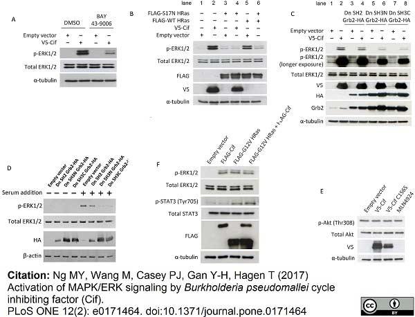 Anti V5-Tag Antibody, clone SV5-Pk1 thumbnail image 6