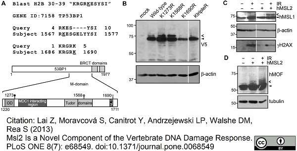 Anti V5-Tag Antibody, clone SV5-Pk1 thumbnail image 8