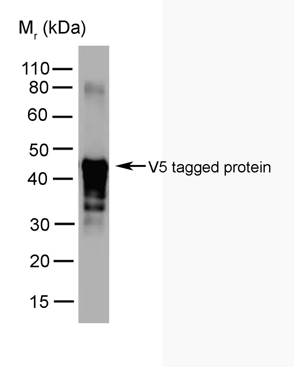 Anti V5 Tag Antibody Clone SV5 Pk2 Gallery Image 1