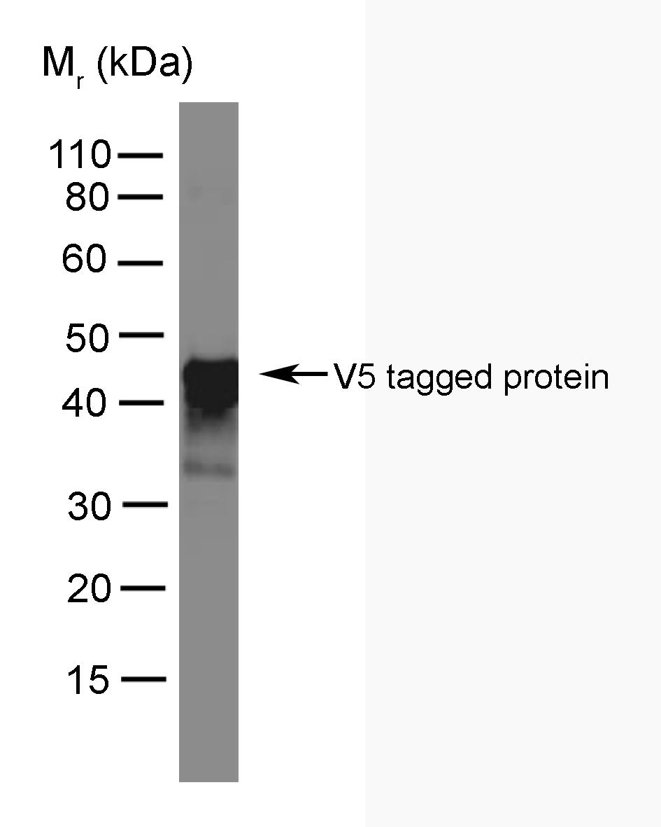 Anti V5-Tag Antibody, clone SV5-Pk4 gallery image 1