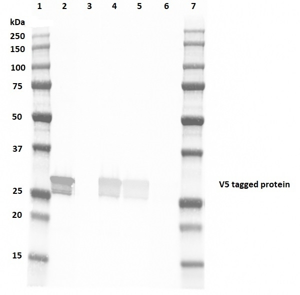 Anti V5-Tag Antibody, clone SV5-Pk4 thumbnail image 2