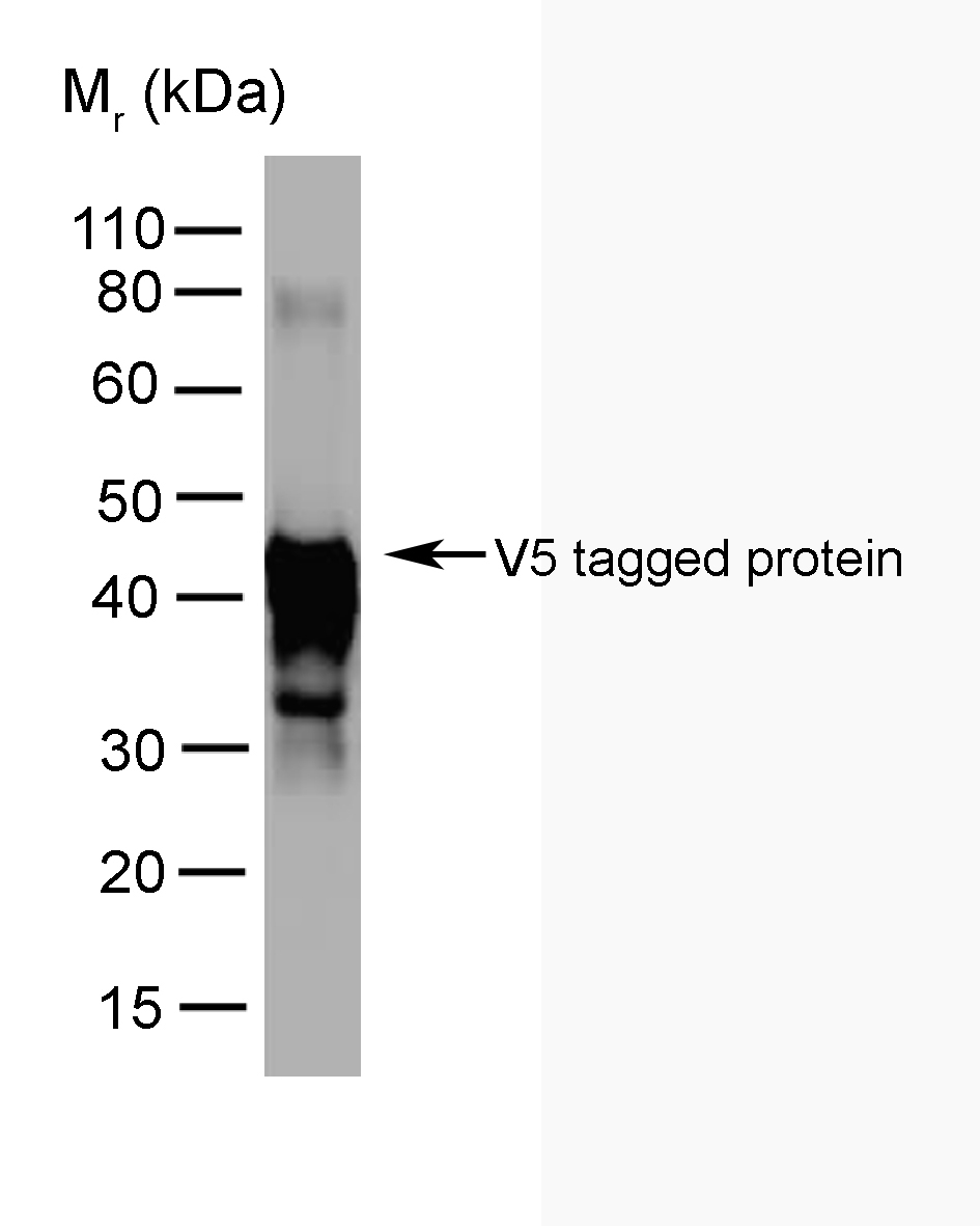 Anti V5-Tag Antibody, clone SV5-Pk5 gallery image 1