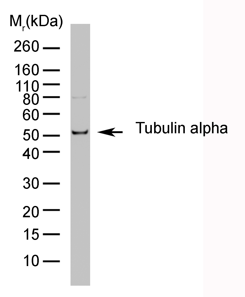 Anti Tubulin Alpha Antibody, clone YL1/2 thumbnail image 1