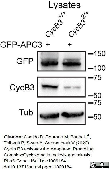 Anti Tubulin Alpha Antibody, clone YL1/2 thumbnail image 11
