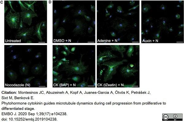 Anti Tubulin Alpha Antibody, clone YL1/2 thumbnail image 12