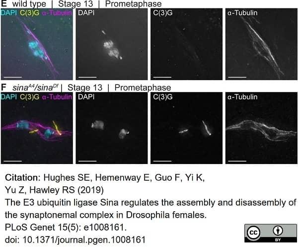 Anti Tubulin Alpha Antibody, clone YL1/2 thumbnail image 14