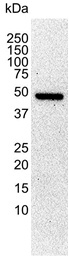 Anti Tubulin Alpha Antibody, clone YL1/2 thumbnail image 2