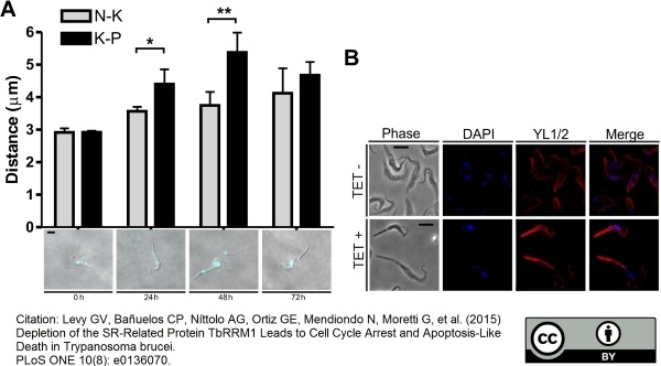 Anti Tubulin Alpha Antibody, clone YL1/2 thumbnail image 3