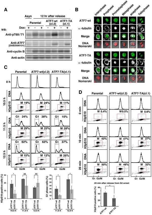 Anti Tubulin Alpha Antibody, clone YOL1/34 thumbnail image 12