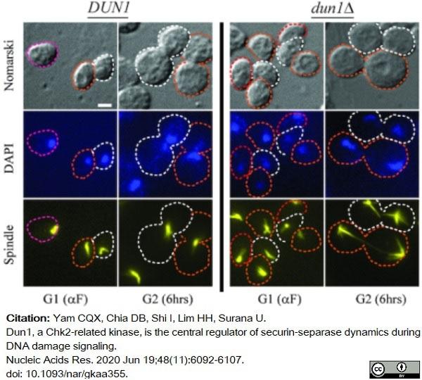 Anti Tubulin Alpha Antibody, clone YOL1/34 thumbnail image 14