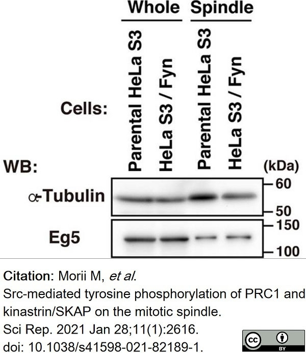 Anti Tubulin Alpha Antibody, clone YOL1/34 thumbnail image 19