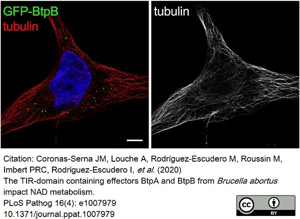 Anti Tubulin Alpha Antibody, clone YOL1/34 thumbnail image 24