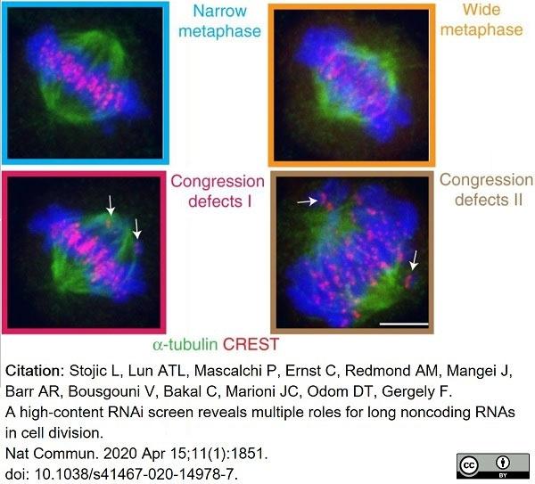 Anti Tubulin Alpha Antibody, clone YOL1/34 thumbnail image 27
