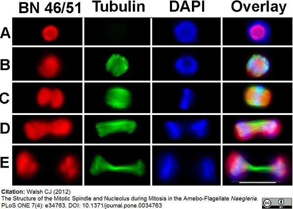 Anti Tubulin Alpha Antibody, clone YOL1/34 thumbnail image 7