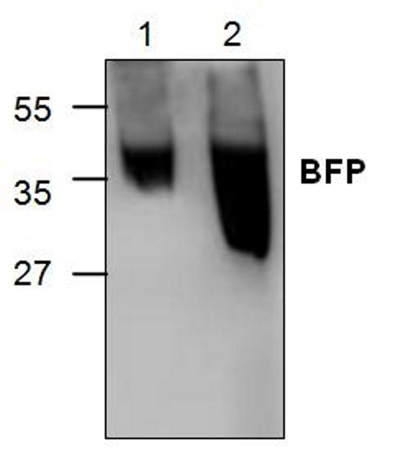Anti Blue Fluorescent Protein Antibody gallery image 1