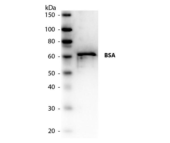 Anti Bovine Albumin Antibody gallery image 1