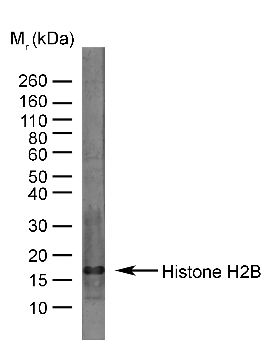 Anti Bovine Histone H2B Antibody gallery image 1