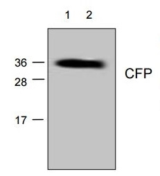 Anti Cyan Fluorescent Protein Antibody gallery image 1