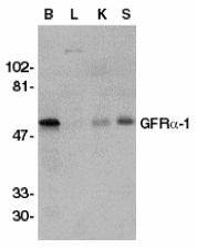 Anti GDNFR Alpha Antibody thumbnail image 1